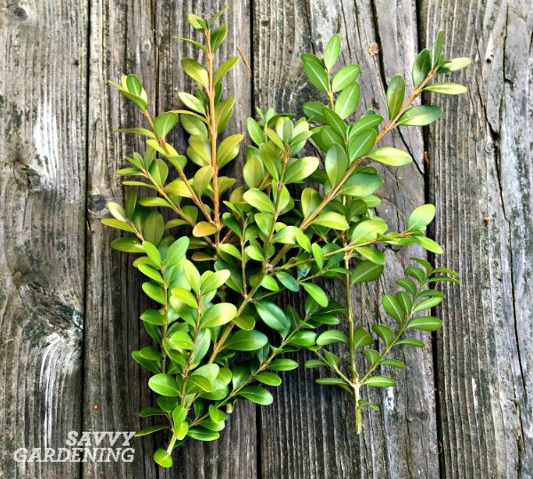 Boxwood clippings can be turned into a quick boxwood wreath