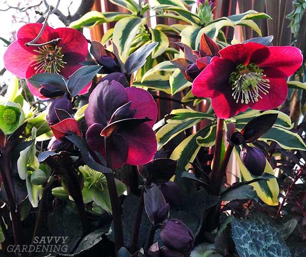 Helleborus 'Anna's Red'