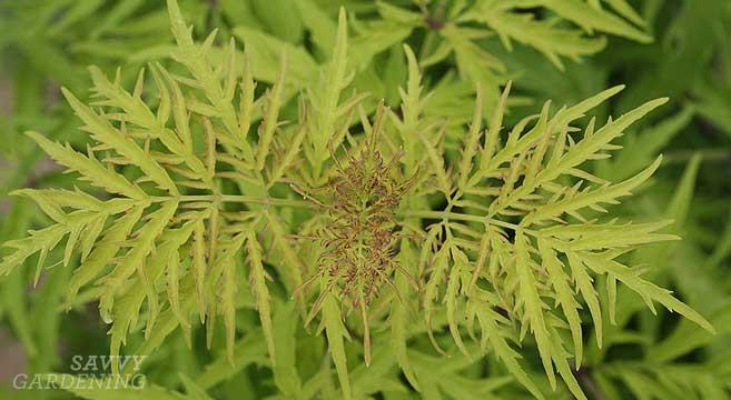 lemony lace elderberry