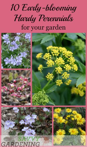 10 Early-blooming, hardy perennials for your garden.