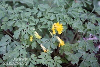 Corydalis lutea (Yellow Bleeding Heart)