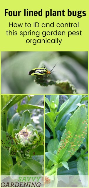 Four lined plant bugs leave sunken pockmarks all over plant foliage. Learn how to ID and control this spring pest.