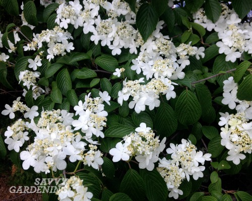 viburnum pruning