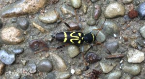 Wasp mimic longhorn beetle