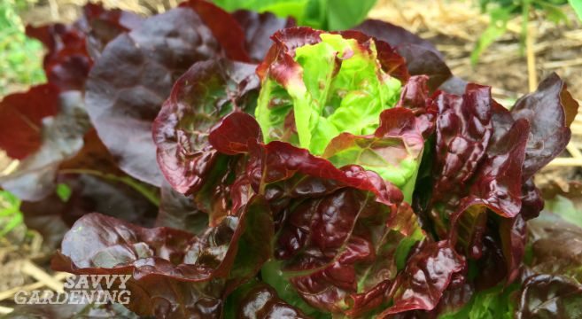 bolting lettuce