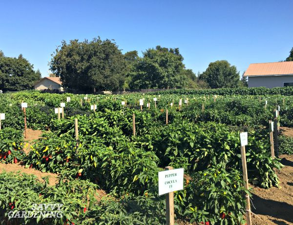 A peek at the extensive pepper beds in the Seeds by Design trial gardens.