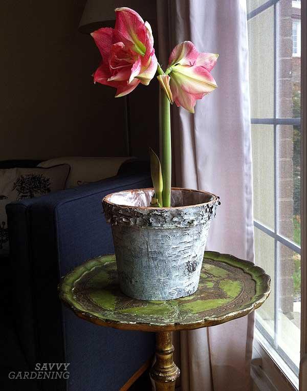 Planting amaryllis bulbs