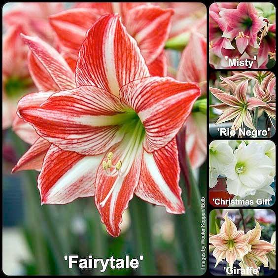 amaryllis varieties