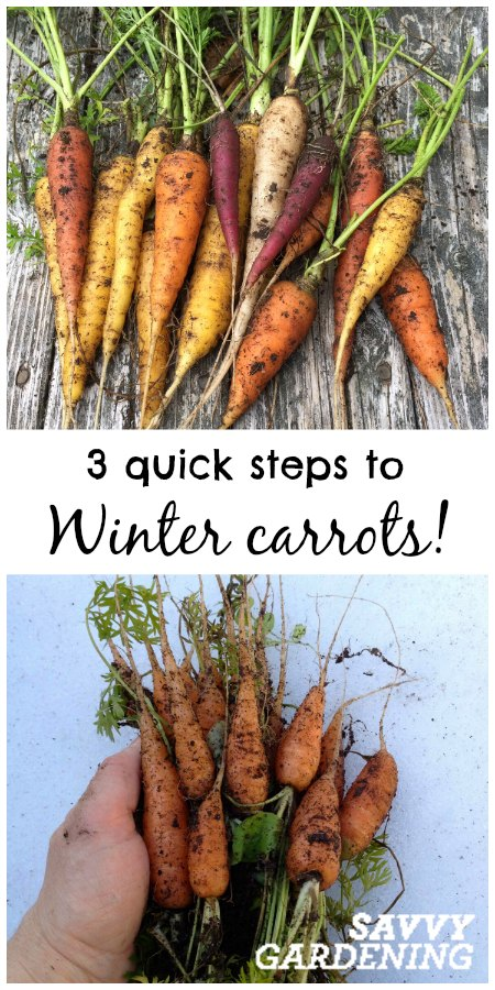 Want winter carrots? Its easier than you think! Learn how with Savvy Gardening.