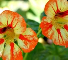 Four flowers for the vegetable garden