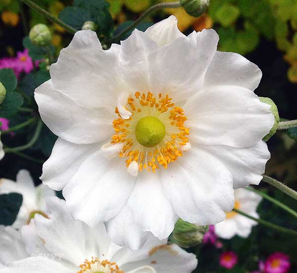The 2016 Perennial Plant of the Year™ is Anemone 'Honorine Jobert'