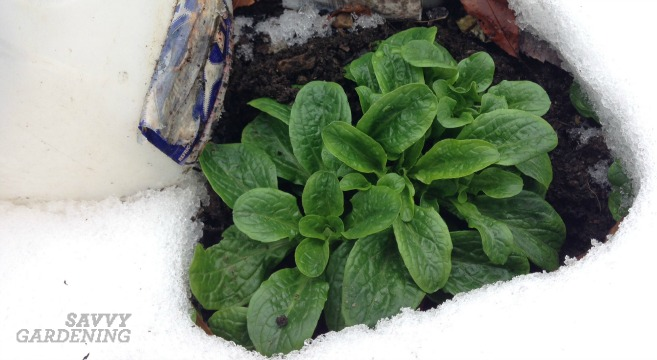 Corn mache: Perfect for the winter vegetable garden