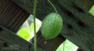 new-to-you-edible: cucamelon