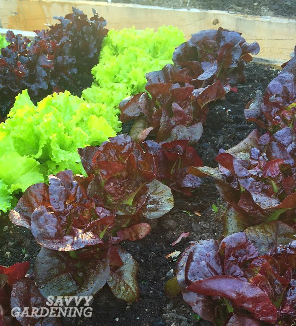 red lettuce