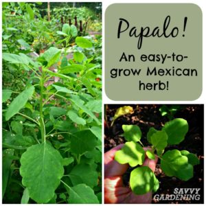 Papalo is an easy-to-grow Mexican herb with a deep cilantro flavor! (Savvy Gardening)