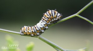 caterpillars on flowers that attract pollinators