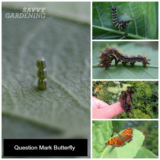 Question mark butterfly lifecycle