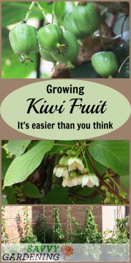 Growing kiwi fruit is easier than you think. Here's everything you need to know about growing this fruit.