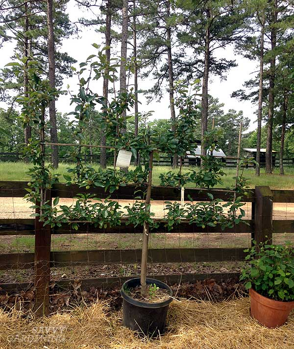 espalier at Moss Mountain Farm