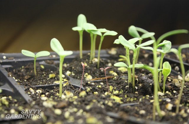 Seedlings growing under lights