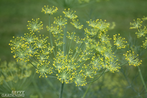 Dill is an excellent crop for attracting beneficial bugs.