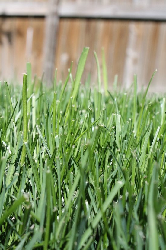 A thick organic lawn has no room for weeds.