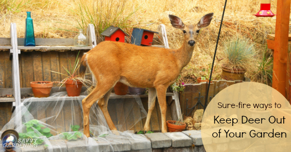 What Can I Feed Deer In My Backyard deer proof gardens: 4 sure-fire ways to keep deer out of your garden