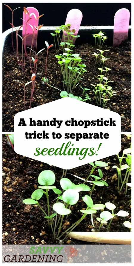 a chopstick trick to separate seedlings