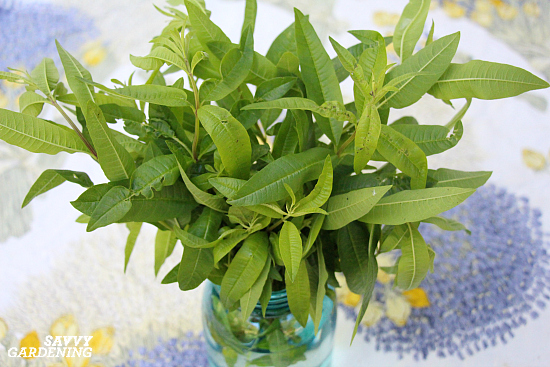 Lemon verbena is a wonderful herb for herbal tea blends.