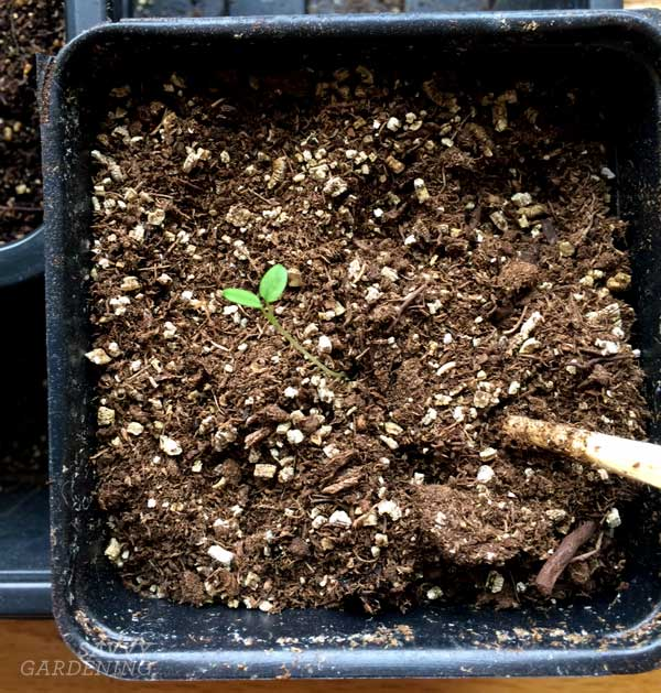 Use a chopstick to separate seedlings