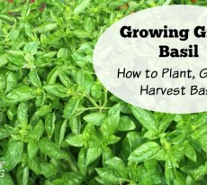 Aromatic basil is popular and easy to grow.