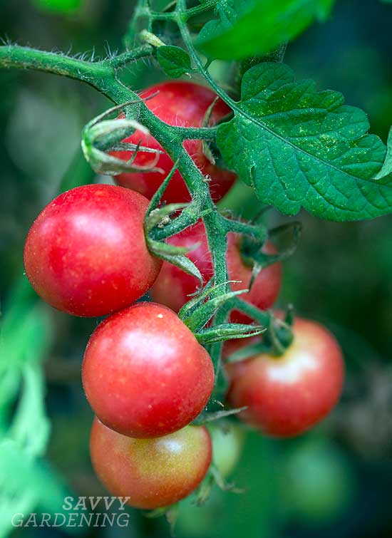 Sweet Treats (Hybrid) tomato
