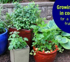 Backyard berry gardens are a great way to grow a lot of fruit in a small space.