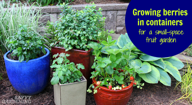 Growing Berries In Containers How To Grow A Small Space Fruit Garden
