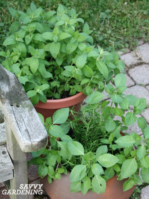Mint is a great choice for container gardens.