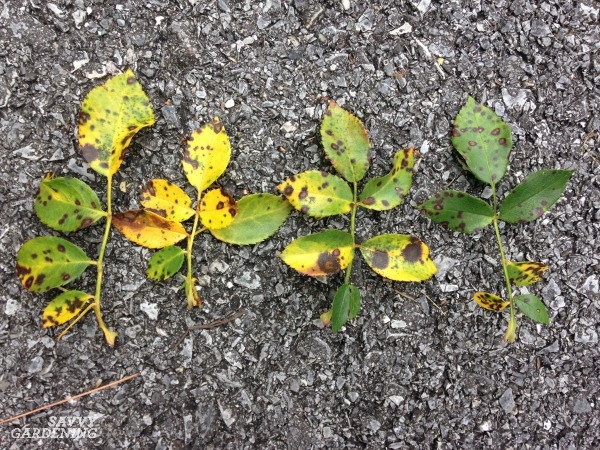 Black spot on roses can be managed with biofungicides.