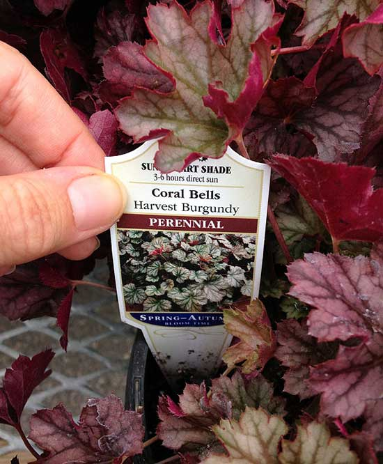 The common name for the heuchera is Coral Bells.