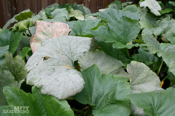 Powdery mildew is one of many plant diseases in the garden.