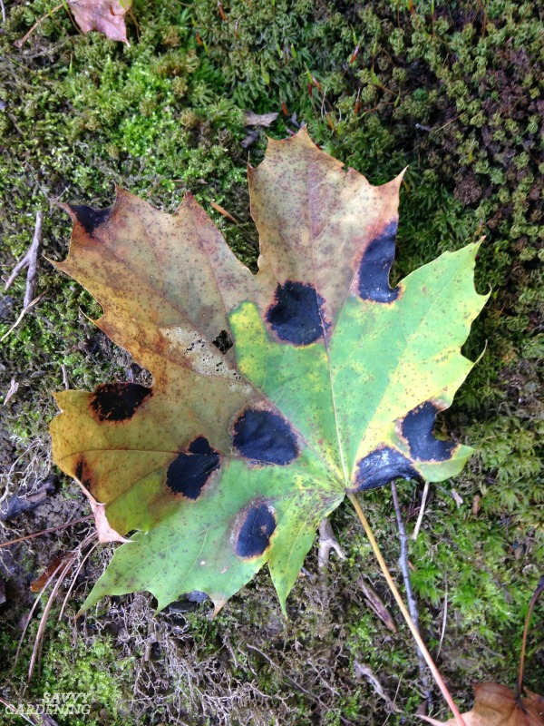 Maple tar spot is a fungal disease of trees.