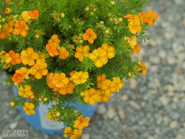 Potentilla is the perfect flowering shrub for your garden.
