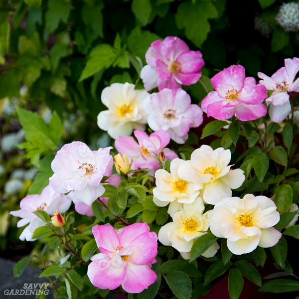 Flowering shrubs for your garden don't get any better than this multi-colored rose.