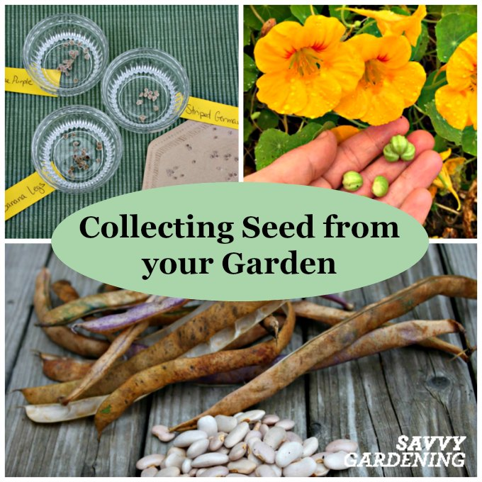 There are so many awesome reasons for collecting seeds from your garden; it's fun, will save money & allows you to preserve heritage varieties.