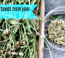 Collecting seeds from your garden is both easy and worthwhile for gardeners.