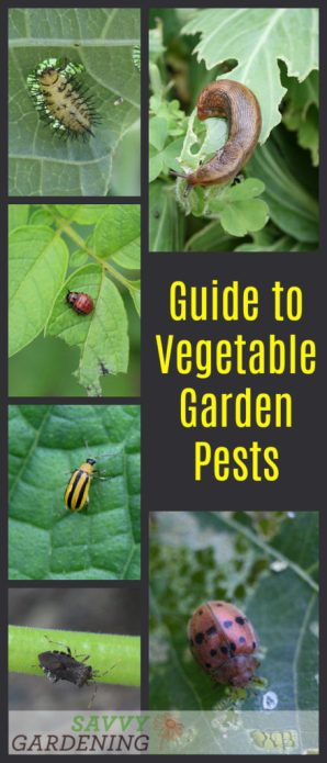 An easy-to-use, straightforward guide to vegetable garden pests.