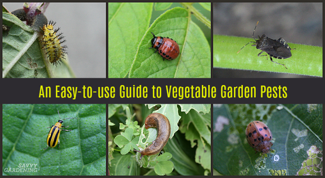 Guide to Vegetable Garden Pests: Identification and Organic