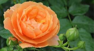 At Last® rose, a new variety of hardy rose