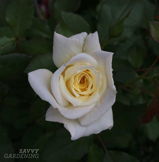 Easy Elegance® rose