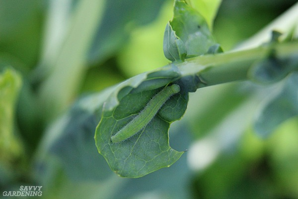 Common pests of vegetable gardens include the imported cabbageworm.