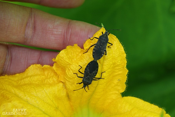 Squash bugs are a common pest in the vegetable garden.