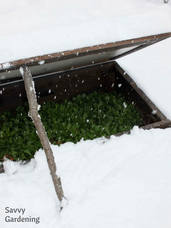 Cold tolerant mache is a winter superstar in cold frames.